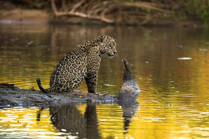 Jaguar in North Pantanal