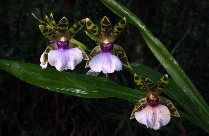 Zygopetalum wild orchids