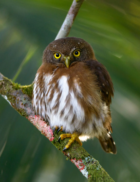 Least Pygmy-Owl