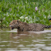 Jaguar population on the rise