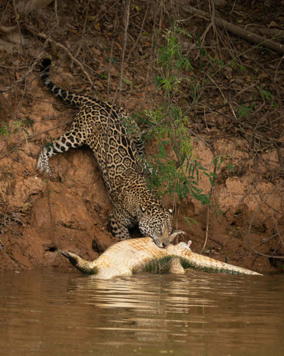 A Jaguars pulls a Caiman up a river bank