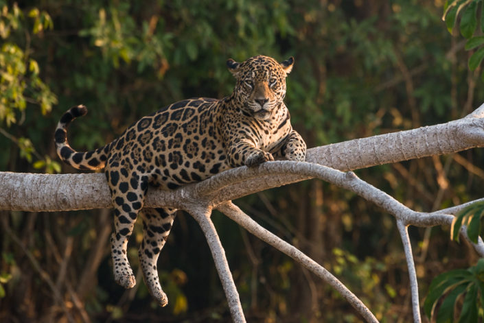 Jaguars of North Pantanal