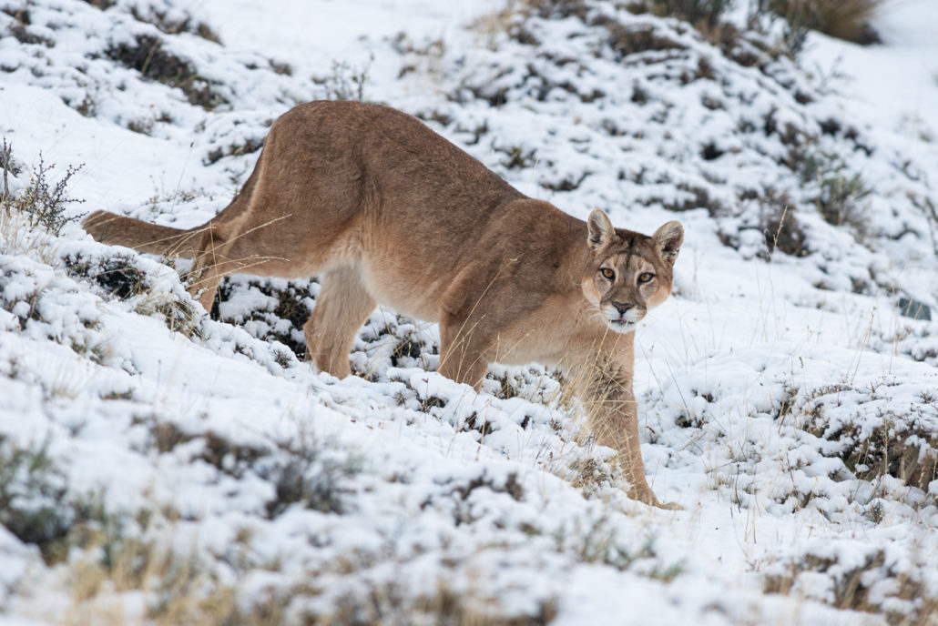 la meilleure attitude 2918a 71832 Puma photo trips - what to expect during the Winter ...