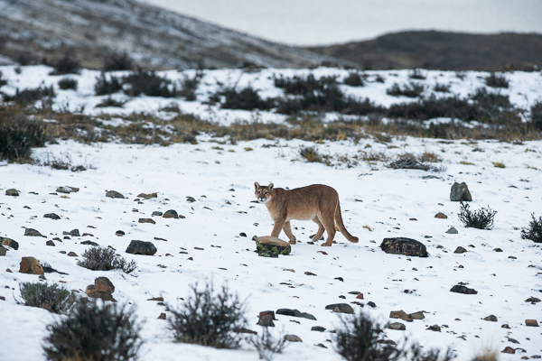 Puma photographed on July 20 after snowfall during the night and morning
