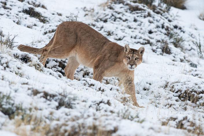 Pumas of Patagonia