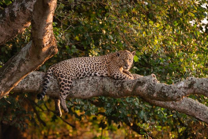 Jaguar Complete Pantanal